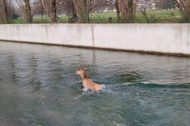 salvato cervo navigli